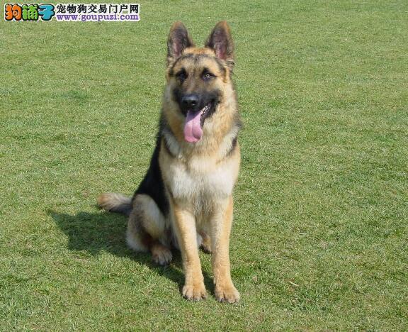 查询德国牧羊犬的形态特征与优点