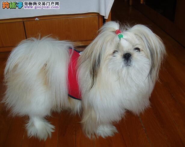 认真关注西施犬的形态特征 教你买到出色的狗狗