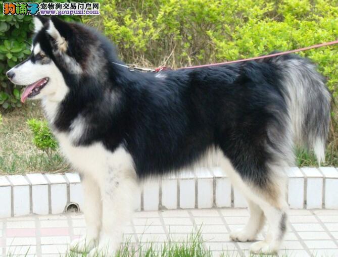 详细说说阿拉斯加雪橇犬的几个过人之处
