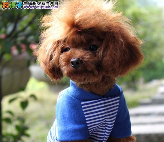 避免选购失误 如何挑选优秀的泰迪犬