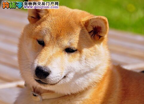挑选优秀秋田犬应当从哪些方面入手