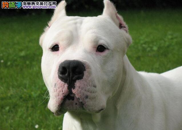 理想中的杜高犬头部与身体各方面的特征