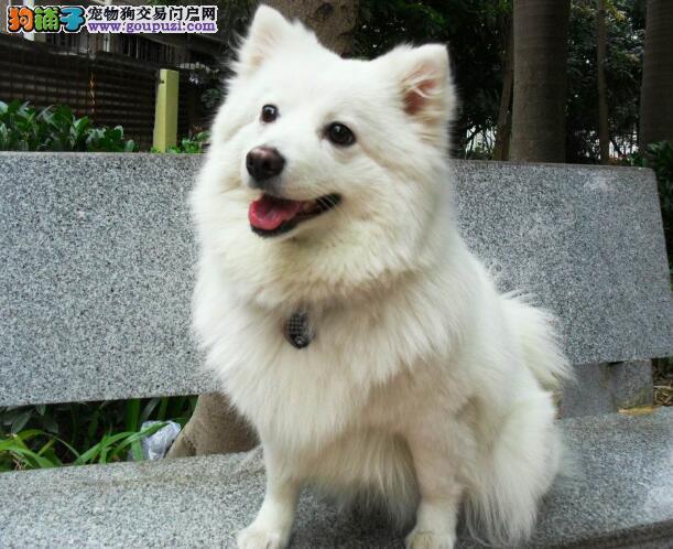 优秀的银狐犬常见的几个优点和特征有哪些