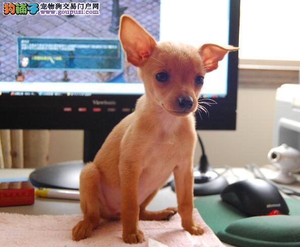 狗狗优点集锦 小鹿犬的犬种特征与天性特点