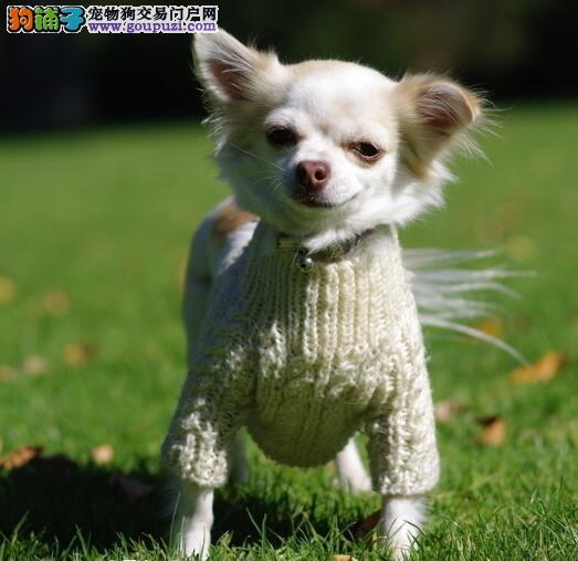 好犬早养成 吉娃娃的训练特点与性格特征