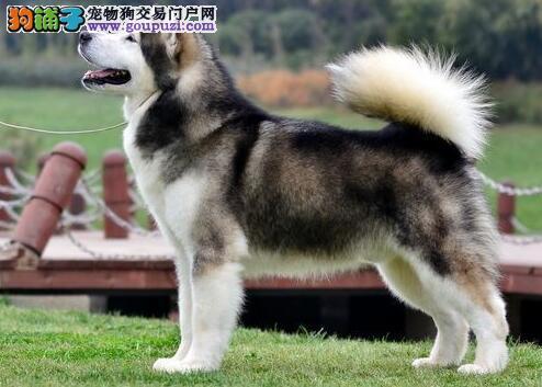 挑选关键之阿拉斯加雪橇犬的头部特征