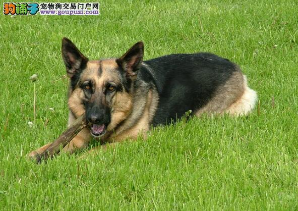 介绍优秀德国牧羊犬的身体特征与优点
