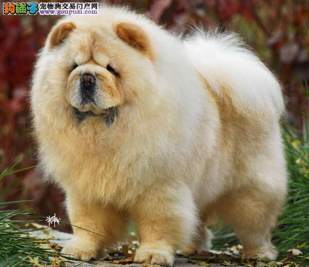 松狮犬的头部特征与身体的基本特点