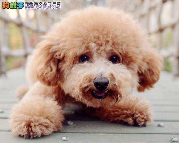 挑选知识分类 关注泰迪犬头部与身体的特征