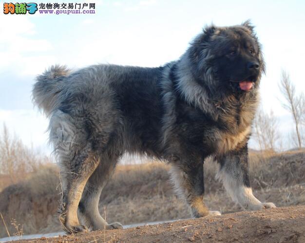 深入了解高加索犬的形态特征与头部特点