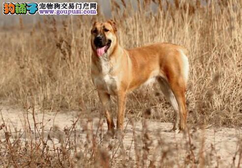 几个方面讨论中亚牧羊犬的出色特征