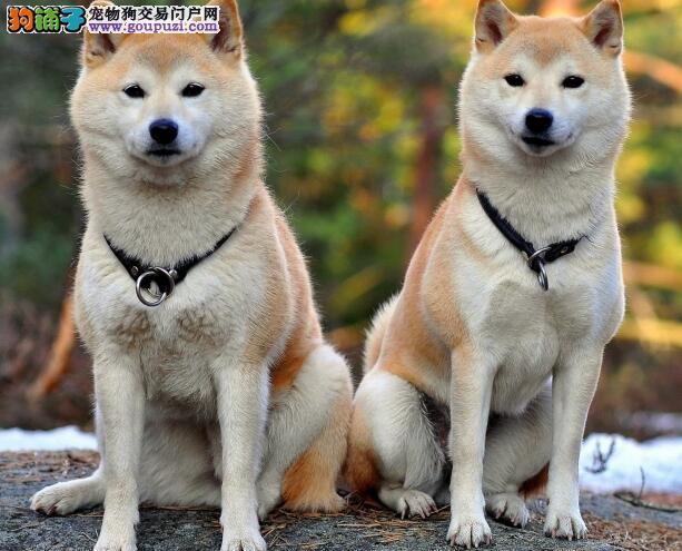 详细说明秋田犬与柴犬的外观差别