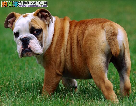 分析斗牛犬的性格特征是怎样的?具有怎样的特征