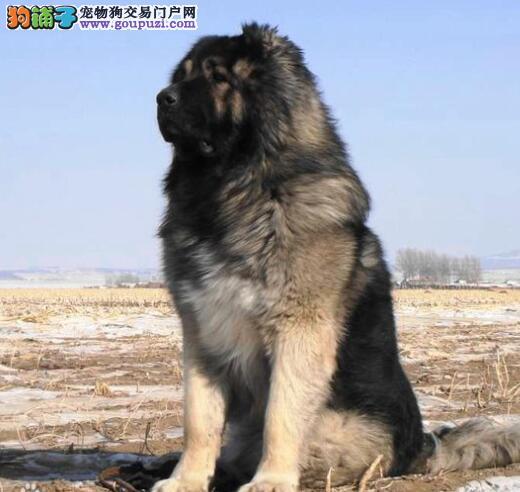 高加索犬所具备的重要特征和优点