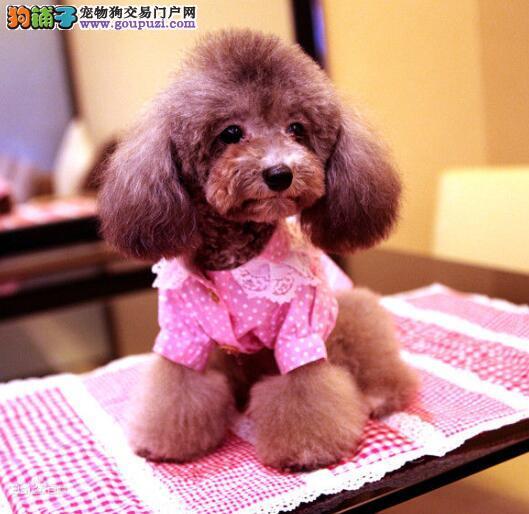 多方面描述泰迪犬的前躯与后躯的特征