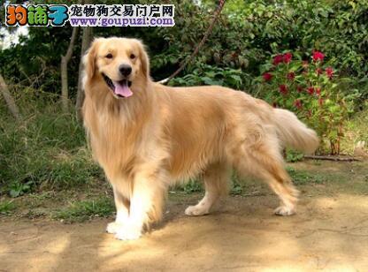 你需要知道的金毛犬的犬种特征有哪些