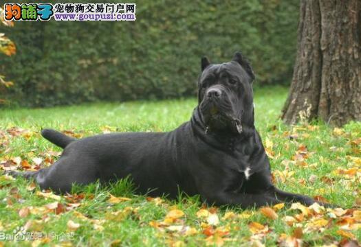 重点介绍卡斯罗犬的性格是怎样的