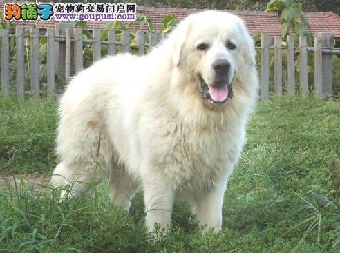 选猫or选狗 谈谈大白熊犬的优点有哪些