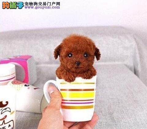 关注茶杯犬的标准体型与缺陷表现