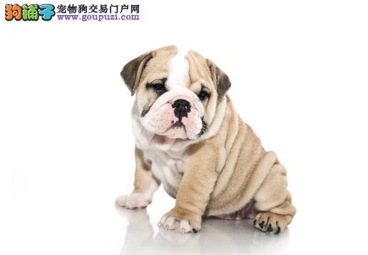 分析狗狗性格 关注沙皮狗的性格特征