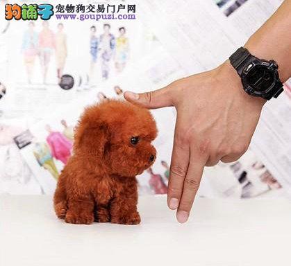 西安茶杯犬价格茶杯犬幼犬价格出售纯种茶杯犬疫苗齐全