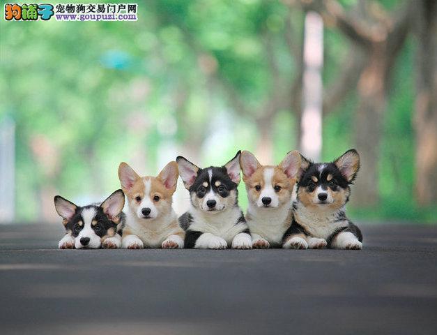 赣州威尔士柯基犬幼犬出售 纯正血统短腿柯基