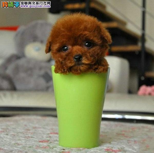 自家养殖纯种茶杯犬低价出售支持全国空运发货