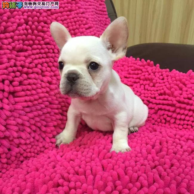 广州哪里有繁殖法国斗牛犬 纯种法国斗牛犬多少钱3