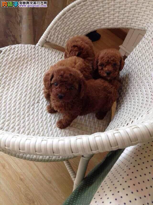 CKU认证犬舍 专业出售极品 茶杯犬幼犬赠送全套宠物用品
