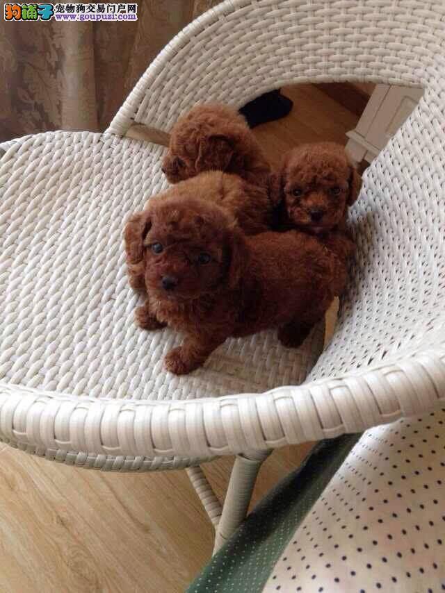 家养多只茶杯犬宝宝出售中国际血统证书