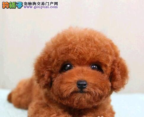 韩国泰迪长春低价销售 大众明星最爱 高贵血统品相到位2