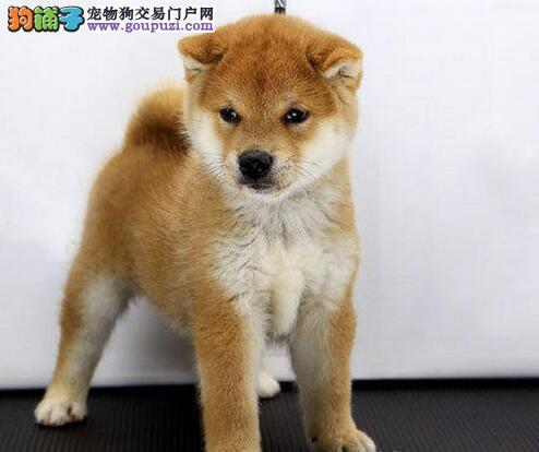 广州自家柴犬出售 保纯保健康疫苗驱虫已做完可签协议
