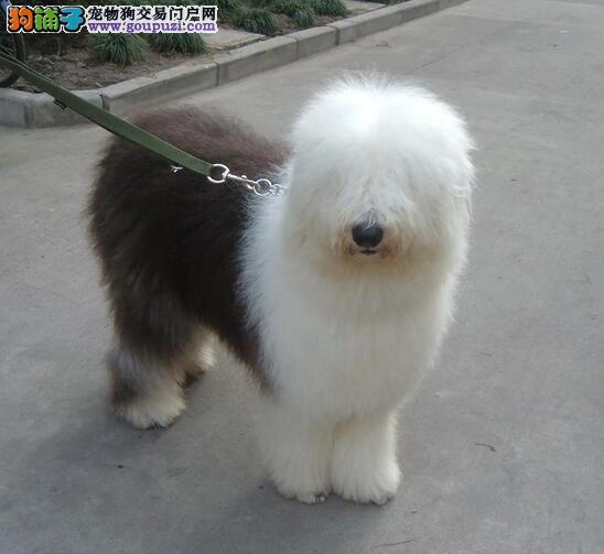 纯种古代牧羊犬白头通背双蓝眼体态完美