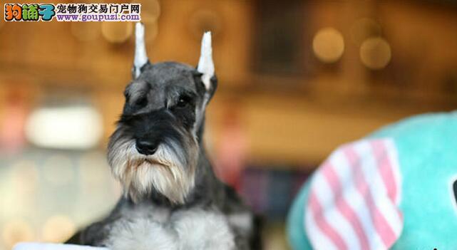 上海黑银、灰、椒盐雪纳瑞自家繁殖、健康血统有保障