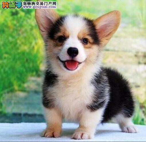 南京柯基犬出售 哪里有卖好点的柯基犬出售 柯基犬价格
