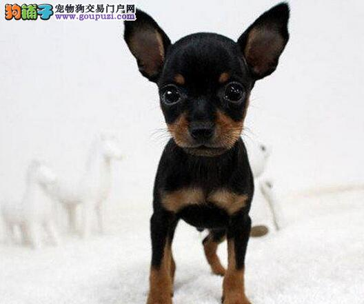 CKU犬舍认证出售高品质德宏州小鹿犬专业品质一流