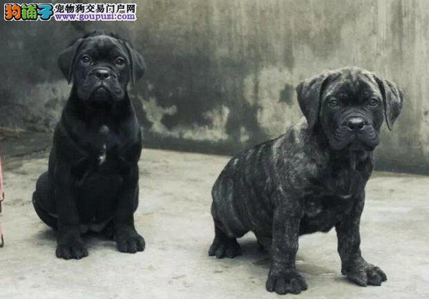 极品卡斯罗犬出售 CKU认证绝对保障 签署合同质保