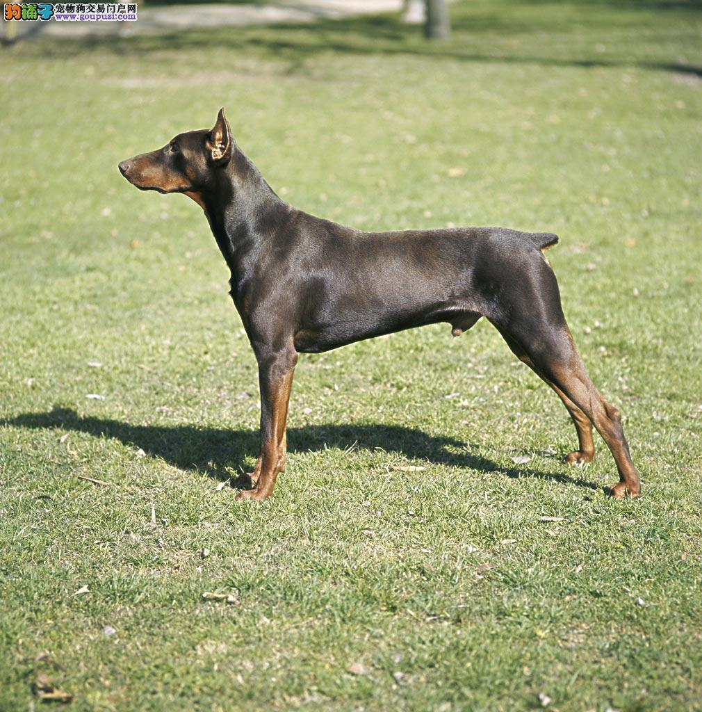 CKU认证犬舍出售纯种健康杜宾犬3