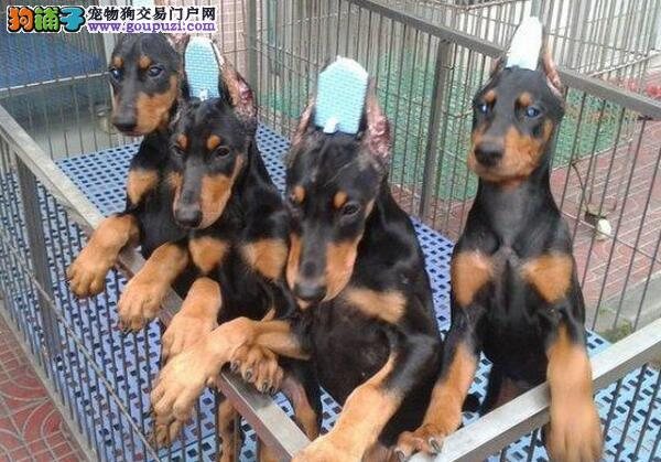 CKU犬舍认证哈尔滨出售纯种杜宾犬微信视频看狗