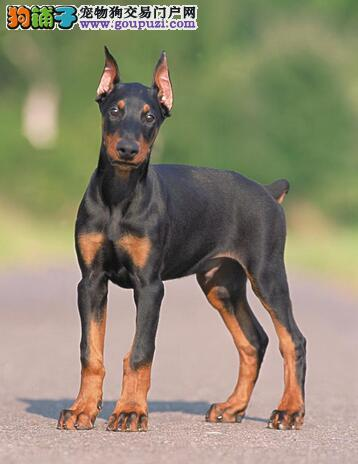 CKU认证犬舍出售纯种健康杜宾犬2