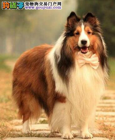 重庆繁殖基地售高品质苏格兰牧羊犬 签署合同售后完善