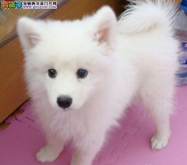 出售纯种健康的郑州银狐犬幼犬诚信经营良心售后