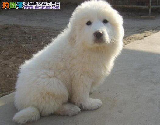 海西州售大白熊犬幼犬 防疫全比利牛斯山地犬幼犬