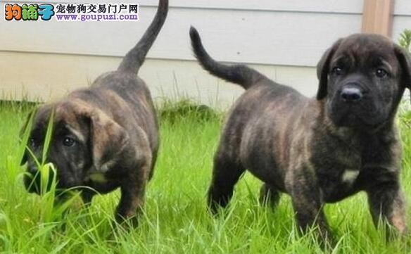 柳州市纯种比格幼犬出售 可上门挑选 公母都有 保健康
