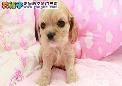 长沙出售纯种可卡幼犬 健康保证 信誉保证