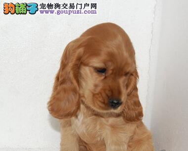 家养极品可卡出售 可见父母颜色齐全微信咨询看狗狗视频3
