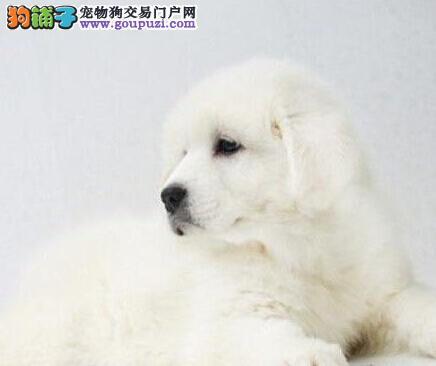 出售多种颜色青岛纯种大白熊幼犬请您放心选购