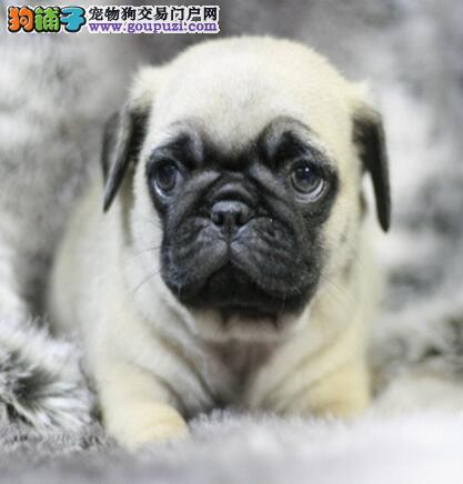 巴哥犬纯种健康可以上门选狗CKU认证