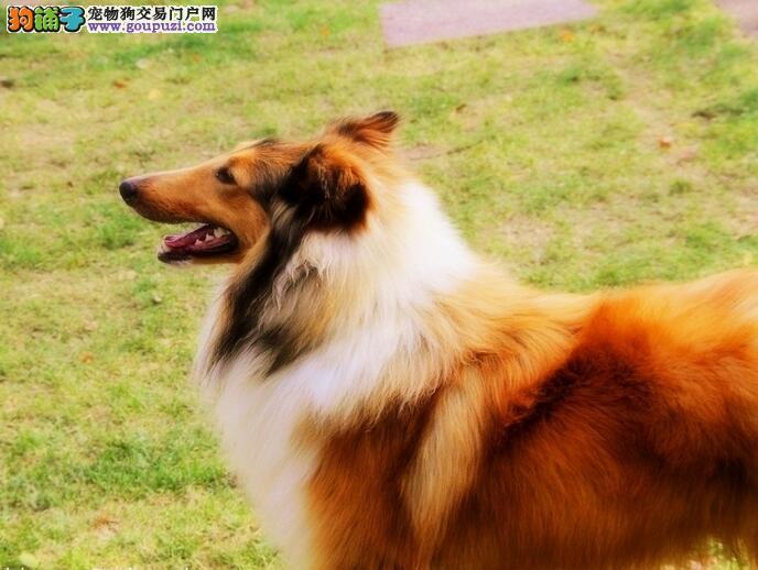 广州纯种黑白黑白苏格兰牧羊犬小狗 三色苏牧七白通顶