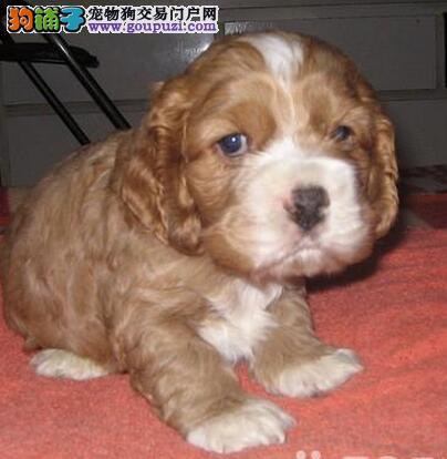 可卡价格 可卡图片 好的可卡多少钱 纯种可卡幼犬